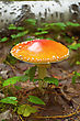 Orange Big Amanita With White Spots On The Background Of The Soil, Green Leaves And Birch Trunk stock image