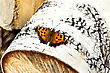 Orange Butterfly With Black Patterns On White Background Of Birch Bark stock photography