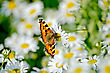 Orange Butterfly Feeds On Nectar From A Flower Chamomile stock image
