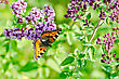Orange Butterfly On A Flower Oregano On A Background Of Green Grass stock image