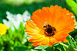 Orange Calendula Flowers With Bee In Garden