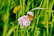 Orange Dragonfly On Pink Flower On A Background Of Green Grass stock photo