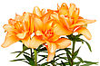 Orange Lilies Isolated On A White Background stock photo