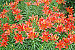 Orange Lilies On A Green Meadow stock photo