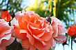 Fragrance Orange And Pink Roses Close Up Picture. stock photo