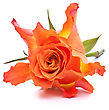 Symbolic Orange Rose Isolated On White Background Cutout stock photo