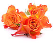 Fragility Orange Roses Isolated On White Background Cutout stock photo