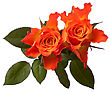Orange Roses Isolated On White Background Cutout stock image