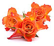 Orange Roses Isolated On White Background Cutout stock photo