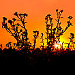 Orange Sky And Yellow Sun Against The Background Of A Flowering Bush Thistle stock photo