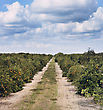 Orange Trees With Fruits In Florida Plantation stock image