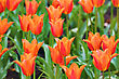 Orange Tulips Background With Blurry Depth Of Field