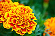 Orange yellow red flowers Tagetes against green leaves stock photo
