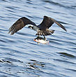 Osprey Catching Fish In Florida Lake stock photography