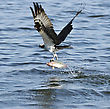 Osprey Catching Fish In Florida Lake