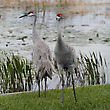 Pair Of Sandhill Cranes stock photography