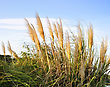Flare Pampas Grass Agains A Blue Sky stock photography