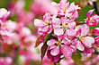 Paradise Apple Pink Flowers Background stock photo