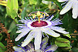 Passion Flower In The Garden. stock image