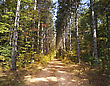 Path Through Tall Pine Trees Forest stock photography