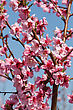 Peach Blossoms Close-up Against The Blue Sky stock photography