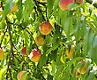 Peach Tree With Ripe Fruits , Close Up stock photo