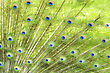 Peacock Feathers ,Close Up For Background stock photo