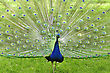 Peacock In The Park, Close Up