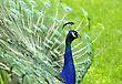 Peacock In The Park, Close Up stock image