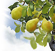 Pear Tree With Fruits ,Close Up