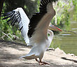 Pelican Stretch Their Wings, Flying Over The Shore Of The Lake stock photo