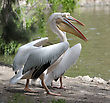 Pelicans On The Lake In The Zoo stock photography