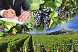 Photo Montages Of Vines And Grapes For The Harvest Of The Great Wines Of France stock photography