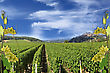 Photo Montages Of Vines And Grapes For Wine Grapes And The Wines Of France stock image