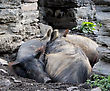 Pigs Lying On The Ground On Stone Wall Background stock photo