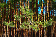 Pine Branch On A Background Of Pine Forest, Many Needles Are In The Spring Sunshine stock photo