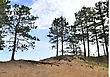 Pine Trees On Dunes stock photography