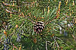 Pinecone On The Background Of Flowering Branches stock photo