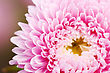 Pink Aster Flower Head Close Up For Background stock image