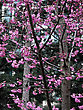 Pink Bloomin Tree At A Spring Sunny Day Against Blured Background. stock photo