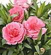 Pink Carnations ,Close Up Shot stock image