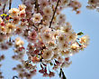 Pink Cherry Tree Flowers Against A Blue Sky stock photography