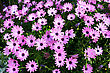 Pink Daisies Beautiful Picture stock image