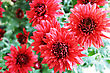 Pink Daisies In Garden, Close Up Picture. stock photography