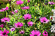 Pink Daisies In The Field. stock photography