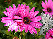 Pink Daisies On Dark Background. stock image