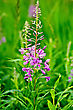 Pink Fireweed Flower On A Background Of Green Grass stock image