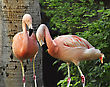 Pink Flamingos In The Tropical Park stock photography