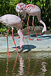 Pink Flamingos Standing Near The Water stock photo