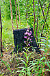 Pink Flower Fireweed, Young Tree Trunks Against The Charred Stump And Green Grass stock photo